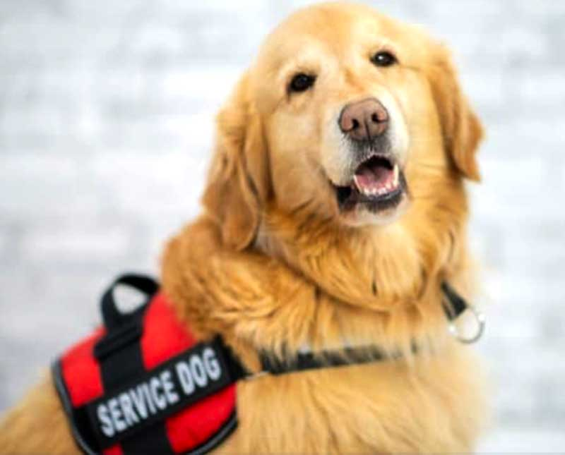 A service dog wearing its harness